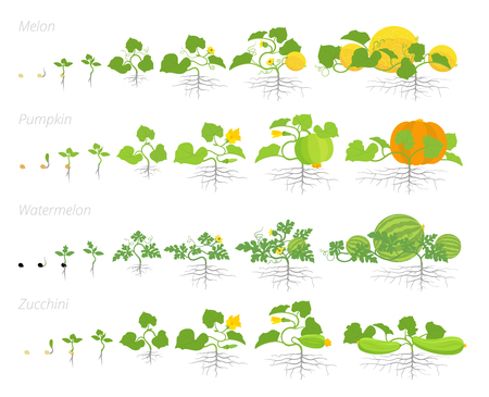 Set of cucurbitaceae plants growth set animation. Pumpkin melon and watermelon zucchini or courgette plant. Vector infographics showing the progression growing plants. Flat stock clipart. Ilustração