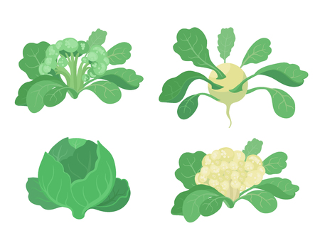 Cabbage set. Broccoli Kohlrabi Cauliflower kinds of cabbage. Cabbages plant. Harvest vegetable. Brassica oleracea vector flat Illustration.