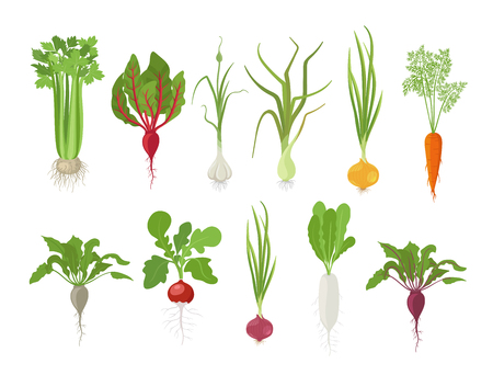 Vegetables harvest plant icon set. Vector farm plants. Popular vegetables set. Carrot beet celery garlic radishes daikon and onion. Flat stock clipart.