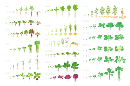 Vegetables agricultural plant, growth big set animation. Vector infographics showing the progression growing plants. Growth stages planting. Flat stock clipart. Carrots celery garlic radishes, onions cabbage potatoes and many other. Ilustração
