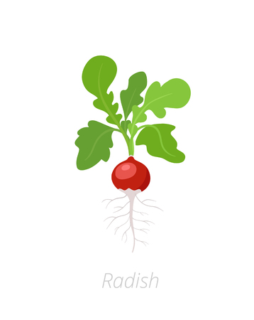 Radish plant. Raphanus raphanistrum. Radishes taproot. Agriculture cultivated plant. Green leaves. Flat vector color Illustration clipart.