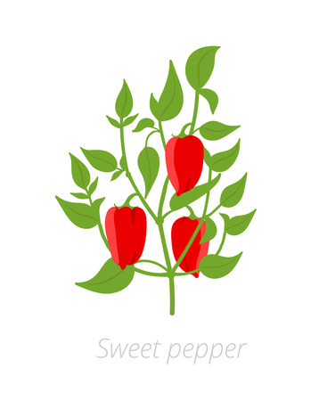 Bell pepper plant. Vector illustration. Capsicum annuum. Sweet pepper. On white background. Also known as sweet pepper, or capsicum.