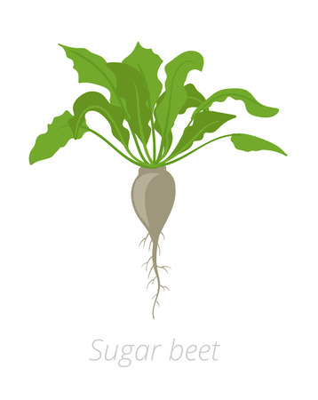 Sugar beet plant. Vector illustration. Beta vulgaris subsp. Flat color drawing on white background. A sugar beet is a plant whose root contains a high concentration of sucrose and which is grown commercially for sugar production.