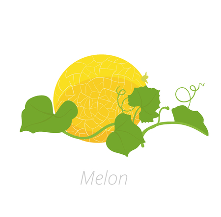 Melon plant. Vector illustration. Cucumis melo. Melon cantaloupe life cycle. On white background. Plant species in the family Cucurbitaceae. Illustration