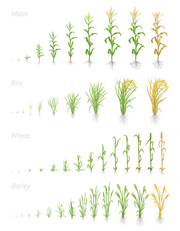 Growth stages of grain cereal agricultural crops. Cereal increase phases. Vector illustration. Secale cereale. Ripening period. Grain life cycle. On white background. The leaders worldwide production. 写真素材 - 123999364