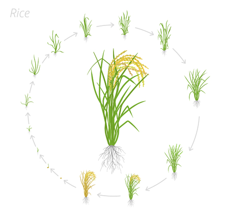 Circular life cycle of rice. Growth stages of rice plant. Rice increase phases. Vector illustration. Oryza sativa. Ripening period. On white background.