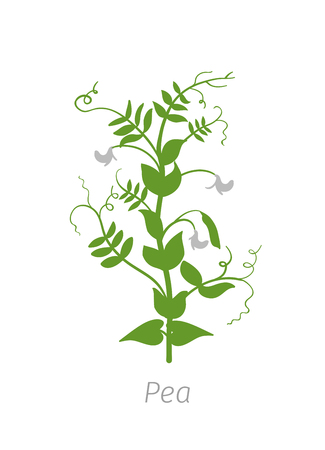 Pea Pisum sativum. Agriculture cultivated plant. Green leaves. Flat color Illustration clipart on white background.
