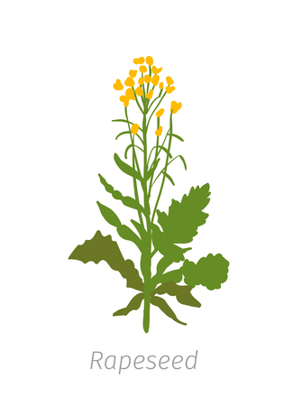 Rapeseed Brassica napus oilseed rape. Agriculture cultivated plant. Green leaves. Flat color Illustration clipart.