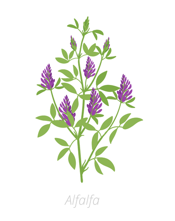 Alfalfa plant. Medicago sativa. Lucerne Agriculture cultivated plant. Green leaves. Flat vector color Illustration clipart. Important forage crop used for grazing, hay and silage, as well as a green manure and cover crop.