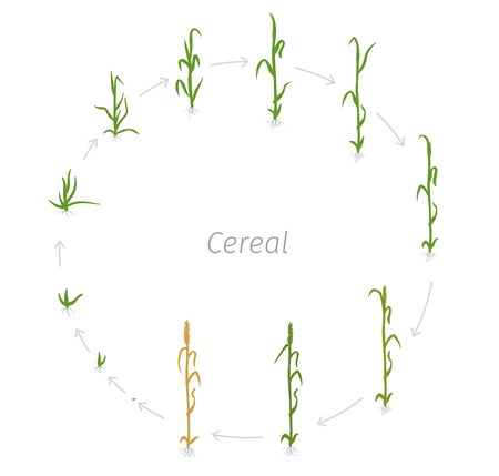 Circular life cycle of Cereal grain agricultural crops. Rye or wheat plant. Vector illustration. Secale cereale. Round Agriculture cultivated plant. Green leaves. Flat color Illustration clipart on white background.