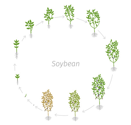 Circular life cycle of Soybean Glycine max. Vector Illustration of the lentil growing plants. Round Determination of the growth stages