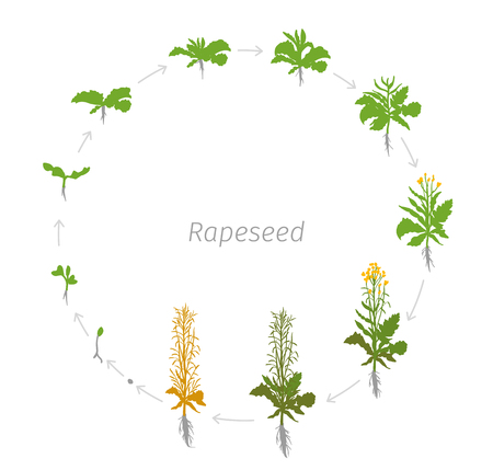 Circular life cycle of Rapeseed Brassica napus oilseed rape. Vector Illustration of the lentil growing plants. Round Determination of the growth stages