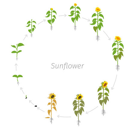 Circular life cycle of Sunflower plant. Helianthus annuus. Vector Illustration of the lentil round growing plants. Round Determination of the growth stages.