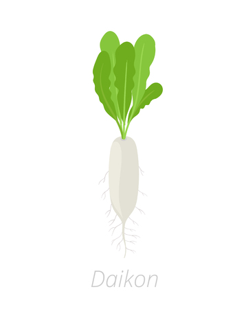 Daikon plant. Long white winter radish plant. Vector illustration on white background. Raphanus sativus variety.