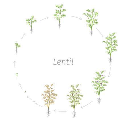 Circular life cycle of Lentil Soybean Lens culinaris. Vector Illustration of the lentil round growing plants. Round Determination of the growth stages Ilustração
