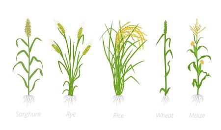Cultivos agrícolas de cereales de grano. Sorgo de centeno, arroz, maíz y planta de trigo. Ilustración de vector. Secale cereale. Planta cultivada de agricultura. Hojas verdes. Clipart de ilustración de color plano sobre fondo blanco. Los líderes mundiales en producción. Ilustración de vector
