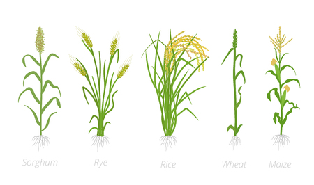 Grain cereal agricultural crops. Sorghum rye, rice maize and wheat plant. Vector illustration. Secale cereale. Agriculture cultivated plant. Green leaves. Flat color Illustration clipart on white background. The leaders worldwide production. Ilustração