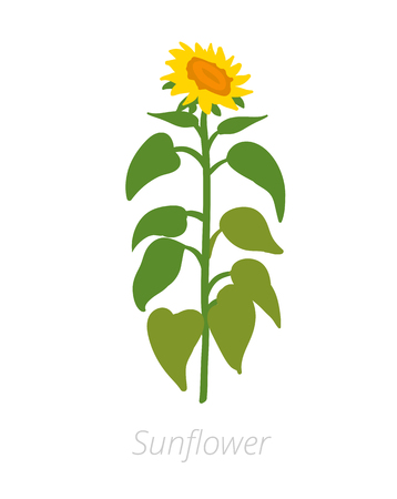 Sunflower plant. Helianthus annuus. Agriculture cultivated plant. Green leaves. Flat vector color Illustration clipart on white background.