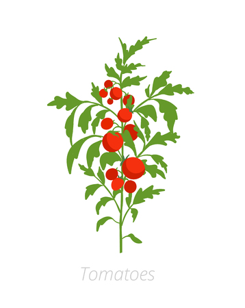 Tomato plant. Solanum lycopersicum.Agriculture cultivated plant. Green leaves. Flat vector color Illustration clipart.