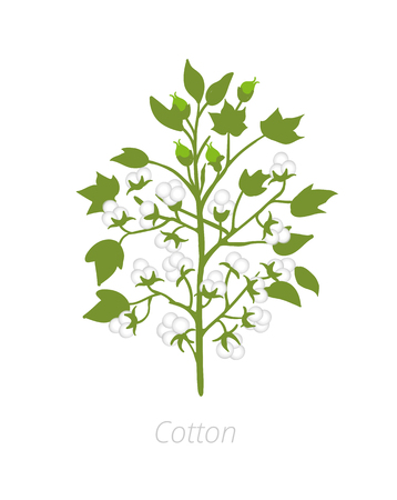 Cotton plant. Vector illustration. Gossypium from which cotton is harvested. On white background.