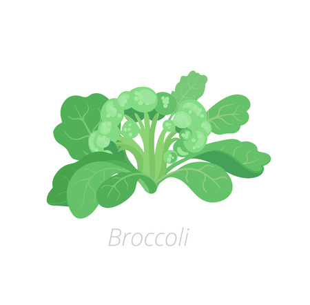 Broccoli cabbage. Broccoli plant. Harvest vegetable. Brassica oleracea. Vector flat Illustration.