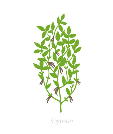 Soybean Glycine max. Agriculture cultivated Soy plant. Green Soja leaves. Flat color Illustration clipart on white background.