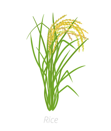 Rice plant. Oryza sativa. Agriculture cultivated plant. Green leaves. Flat color Illustration clipart. On white background. It is the agricultural commodity with the third-highest worldwide production.