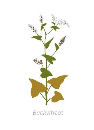 Buckwheat Fagopyrum Polygonaceae Agriculture cultivated plant. Green leaves. Flat color Illustration clipart on white background.