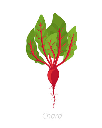 Chard plant. Red Chard plant. Vector illustration. Beta vulgaris. Chard taproot. On white background. Also known as Swiss chard.