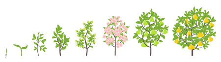 Pear tree growth stages. Ripening period progression. Pear fruit tree life cycle animation plant seedling. Pear increase phases. Flat vector color Illustration clipart. On white background.