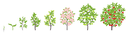 Cherry tree growth stages. Ripening period progression. Cherry fruit tree life cycle animation plant seedling. Sweet cherry. Prunus increase phases. Flat vector color Illustration clipart. On white background.