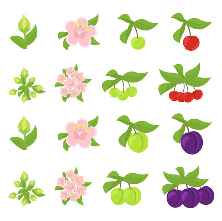 Fruits growth stages. Cherries and Plum Damsons phases. Ripening progression. Fruit life cycle animation plant. Flat vector color Illustration clipart.