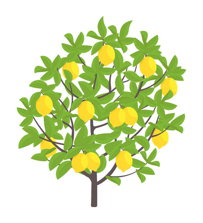 Drzewo cytrynowe. Ilustracja wektorowa. Roślina drzew owocowych. Płaski wektor kolor ilustracja clipart. Dojrzały na drzewie cytrynowym. Na białym tle. Limonka cytrusowa. Ilustracje wektorowe