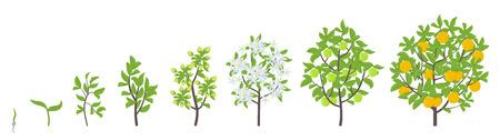 Lemon tree growth stages. Ripening period progression. Fruit tree life cycle animation plant seedling. Lemon increase phases. Flat vector color Illustration clipart. Citrus aurantium. On white background. Illustration