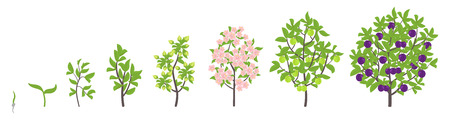Blue Plum tree growth stages. Ripening period progression. Damsons fruit tree life cycle animation plant seedling. Sweet Plum. Prunus increase phases. Flat vector color Illustration clipart. On white background.