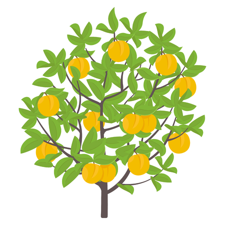 Peach tree. Vector illustration. Fruit tree nectarine plant. Flat vector color Illustration clipart. Ripe Peach on a tree. Prunus persica on white background. Vettoriali