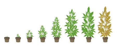 Etapas de crecimiento de la planta de cáñamo en maceta. Fases de la marihuana establecidas. Periodo de maduración del cannabis indica. El ciclo de vida. Cultivo de malezas. Ilustración de vector de infografía aislado sobre fondo blanco. Cannabis medicinal en una olla.