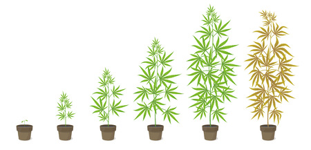 The Growth Cycle of Cannabis potted plant. Marijuana phases set. Hemp ripening period. The life stages. Weed Growing. Isolated infographic vector illustration on white background. Medical cannabis in a pot.