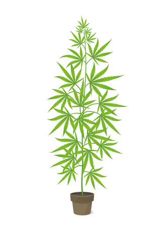 Hemp potted plant. Marijuana or cannabis sativa green tree. Isolated vector illustration on white background. Weed Growing in a pot at home. Medical cannabis.