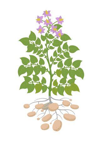 Plant de pommes de terre. Plantes à patates. Récoltez la pomme de terre. Un buisson avec des tubercules.