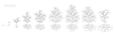 Crop stages of potatoes plant. Harvest potato growth animation progression. Vektorové ilustrace