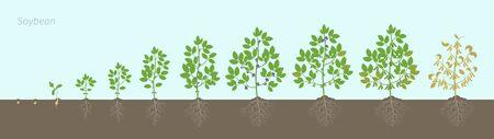 Stades de croissance de la plante de soja avec des racines dans le sol. Les phases du soja définissent la période de maturation. Cycle de vie max de la glycine, progression de l'animation.