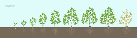 Growth stages of Soybean plant with roots In the soil. Soya bean phases set ripening period. Glycine max life cycle, animation progression. Illustration
