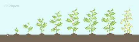 Fasi di coltivazione del cece. Pianta di ceci di animazione in crescita. Conosciuto come grammo o grammo del Bengala, cece o cece e pisello egiziano. Vettoriali