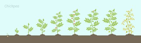 Crop stages of Chickpea. Growing animation chick pea plant. Known as gram or Bengal gram, garbanzo or garbanzo bean, and Egyptian pea.