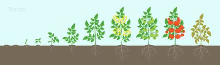 Growth stages of Tomato plant. Ripening period. Tomatoes bush harvest on the background of the soil. Root system. Animation progression. Illustration
