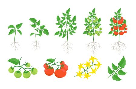 Red tomato plant set. Tomatoes bush harvest. Green and ripe tomatoes. Bloom. Leaves on a branch. Illustration