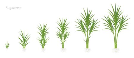 Crop stages of Sugarcane. Growing sugar cane plant used for sugar production. Illustration