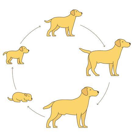 Ronde stadia van hondengroeiset. Levenscyclus van huisdieren.