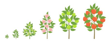 Apple tree growth stages. Ripening period progression. Fruit tree life cycle animation plant seedling. Apple increase phases.